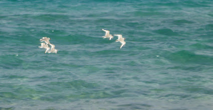 Photo: Little terns too fast to capture for me!