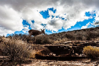 Photo: Funny Deer on Bright Angel Trail, up the South Rim of Grand Canyon Nation Park, Arizona, USA