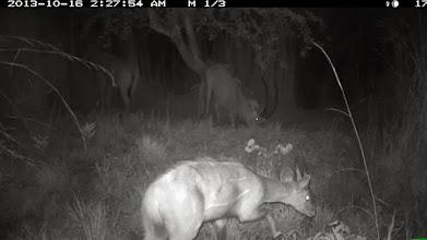 """Photo: Male bushbuck and roble hybrid herd Macho golungo e manada híbrida de """"robles"""""""