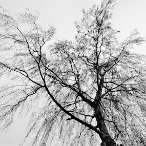 From Below  by Stoyan Baev - Black & White Flowers & Plants ( tree, black and white, plants, artistic, perspective )