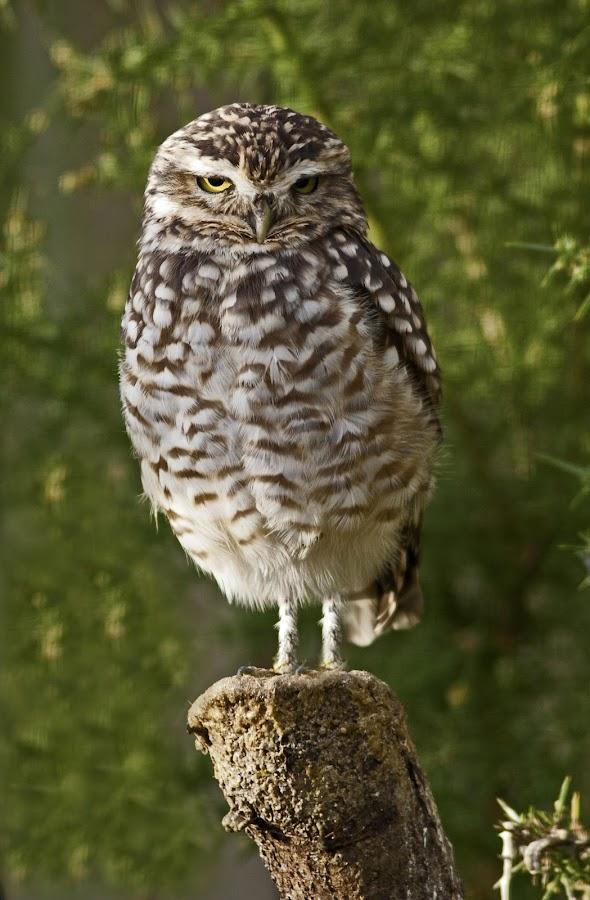Little Owl by Ian Flear - Animals Birds