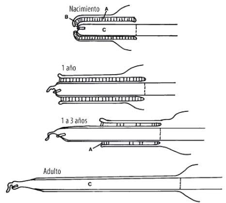 Schéma de la séparation progressive de la muqueuse préputiale et du pénis du mâle des petits camélidés