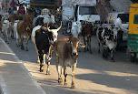 vaches dans la rue