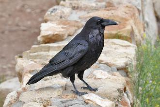 Photo: Common Raven