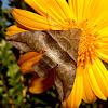 Half-blind sphinx Moth