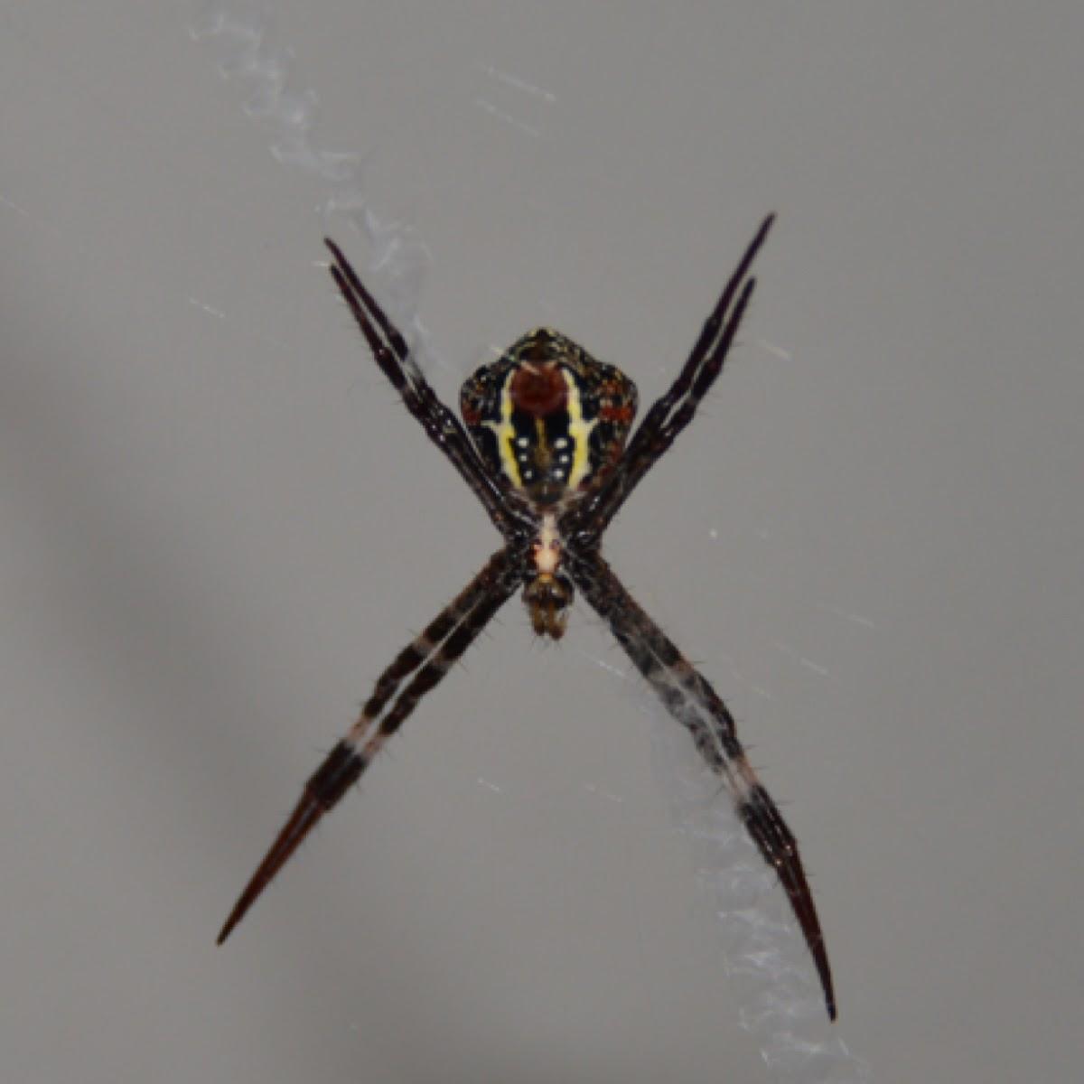 St. Andrew's Cross Spider (female)