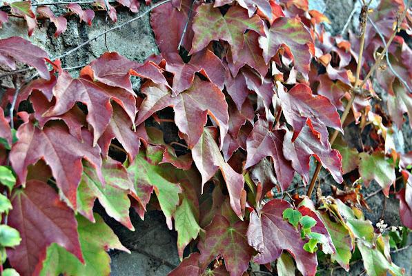 Si sta come d'autunno sugli alberi le foglie di pietro_armenante