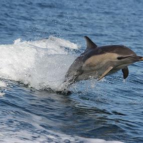 Surfing the wake by Rachel Startin - Animals Other Mammals ( dolphin, water, scotland )