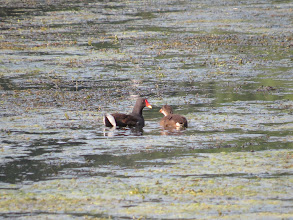 Photo: 26 Aug 13 Priorslee Lake Part of a family of Moorhens with 4 juveniles ... (Ed Wilson)