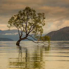 The Wanaka Tree by Mike Hayter - Landscapes Waterscapes ( ripples, mountains, sunrise, green, leaves, reflection, wanaka, clouds, new zealand )