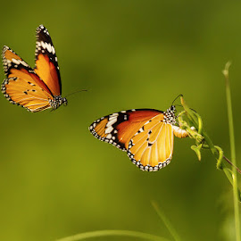Colours of Nature by Abhishek Singh - Animals Insects & Spiders ( #butterflies #nature #colour #macro #daylight )