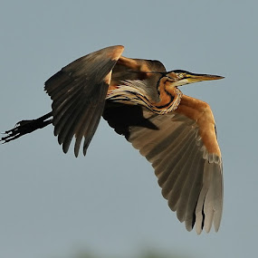 Giant Heron in Flight by Jan Jacobs - Animals Birds
