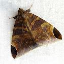 Rufous Passenger Moth