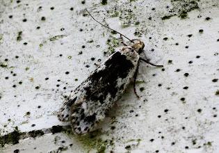 Photo: Anacampsis blattariella  Lepidoptera > Gelechiidae