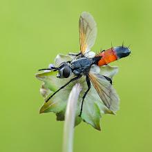 Photo: Tachina sp. (Diptera)  http://lepidoptera-butterflies.blogspot.com/