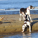 Great Danes (dogs)