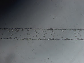 Photo: Tetrahymena at a microfluidic channel
