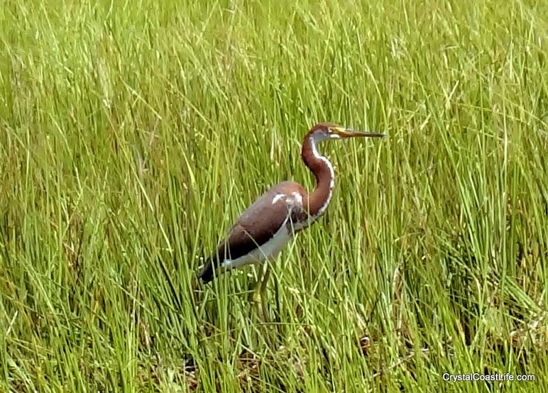Photo: Tricolor heron