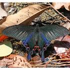 Papilio bianor 碧鳳蝶