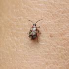 Flea beetle - Besouro Pulga