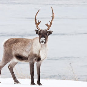 The reindeer Rudolph. by Kenneth Pettersen - Animals Other
