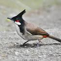 Red-whiskered Bulbul (श्वेतबक्ष जुरेली)