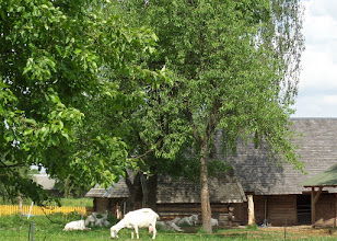 """Photo: We visited a """"cheese house"""".  Each goat provided about 1 gallon of milk a day for the cheese makers."""