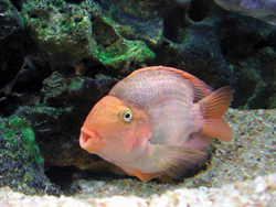 Photo: Hybrid parrot cichlid. http://www.tfhmagazine.com/freshwater/species-profiles/hybrid-parrot-cichlid-na.htm Photograph from TFH Archives.