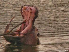 Photo: AFRIQUE DU SUD-Hippopotames dans la réserve privée de Makalali près du Parc Kruger