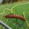 Gulf Fritillary (Caterpillar)