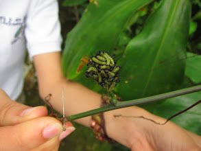 Photo: This kind of caterpillar moves all in a group from one leaf to the next. They're about ready to find a new home!