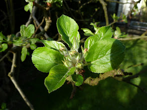 Photo: Apple blossom - 6 April almost ready to open