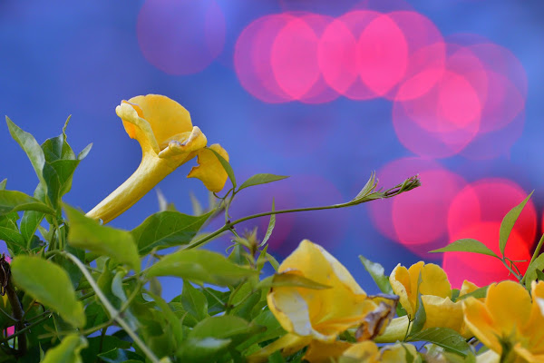 Fleur di Luporosso