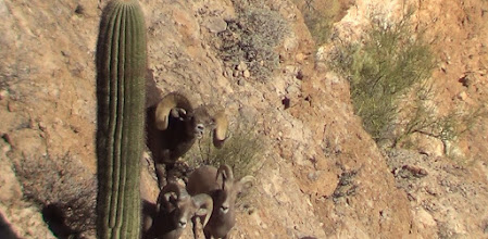Photo: Live Pics- Ernie Meeske's Desert Bighorn Sheep Hunt in AZ Unit 22 with Jay Scott.  Ernie's ram was AZ Game and Fish checkout score was 187 6/8 Gross and 186 5/8 Net.  The ram has 16 4/8 bases and his long horn is 38 5/8.