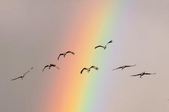 Photo: Sandhill cranes - over the rainbow.