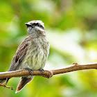 Peitica (Variegated Flycatcher)