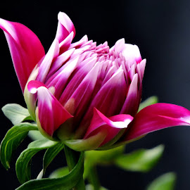 dahlia by SANGEETA MENA  - Flowers Flowers in the Wild (  )