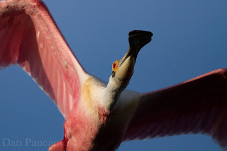 Photo: Roseate Spoonbill - Winged Portraits - High Island Texas