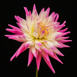Pink & White Dahlia by Jim Downey - Flowers Single Flower ( pink, white, yellow, black, petals )