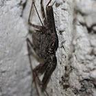 Sri Lanka Whip Spider
