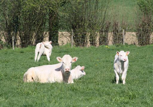 ferme de travailles viande de boeuf direct producteur vaches charolaises