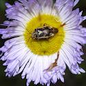 Mirid Plant Bug