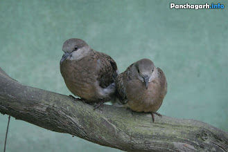 Photo: Ghughu (Dove) is a very common bird in Panchagarh
