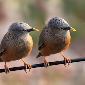 The 2 Again by Mrinmoy Ghosh - Animals Birds (  )