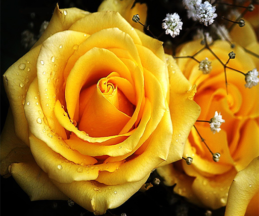Wallpaper Of Yellow Rose: Download Yellow Rose Live Wallpaper For PC