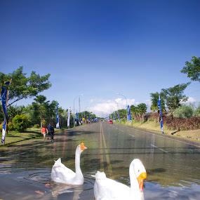 Swan on the road by Tigor Lubis - Digital Art Animals