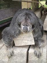Photo: Saki monkey