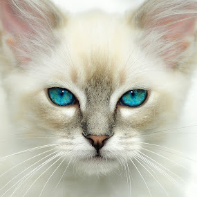 Sinatra by Rob Jarvis - Animals - Cats Portraits ( cat, kitten, blue, stare, eyes )