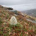 woolly lousewort