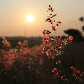 Sun kissed by Srivenkata Subramanian - Nature Up Close Other plants ( susets, hosur, thally, neat, india, clean,  )
